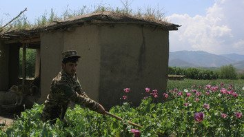 An Afghan security officer destroys illegal poppies outside Badakhshan May 17. [Sharif Shayeq/AFP]