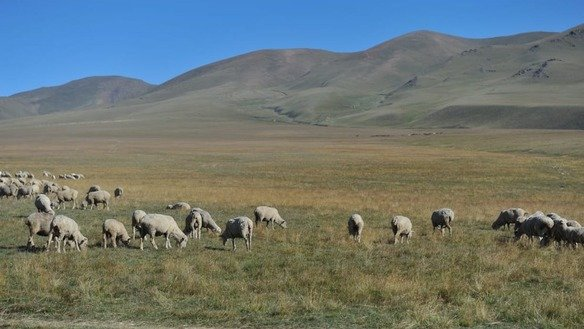 Sheep graze in Almaty Province in April 2017. [Vladimir Tretyakov]